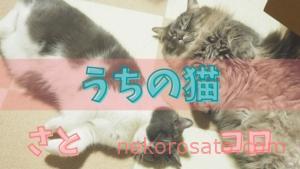 【うちの猫】コロ(マンチカン)とさと(ブリティッシュショートヘア)