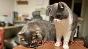 猫2匹暮らしに必要な1カ月の費用はどれぐらい?