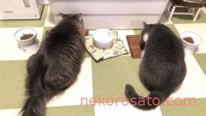 うちの猫のごはん催促は1日3回 正確な腹時計で飼い主にもメリハリ