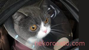【猫2匹飼いでの避妊手術】どんな手術?傷跡は?費用は?うちのコ体験談