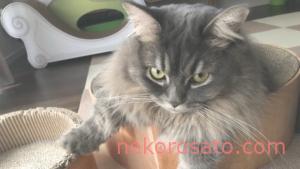 マンチカンってどんな猫? うちのコは性格「超ビビり」で体重「重め」です