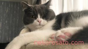 ブリティッシュショートヘアってどんな猫? うちのコは「超おてんば」です