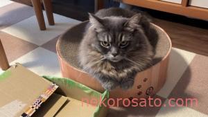 【うちの猫】段ボールへの愛情はうつろいやすい